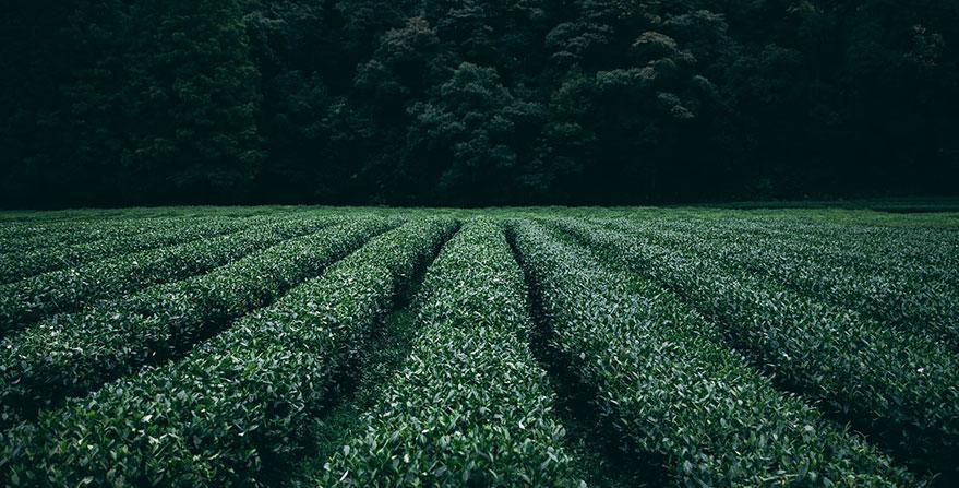 Plantas de té plantaciones